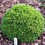 Picea_orientalis_prof_langner