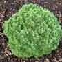 Picea_glauca_tiny