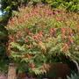 Calliandra confusa - Red Colliandra (Calliandra confusa)