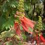 Calliandra confusa - Red Colliandra (Calliandra confusa .)