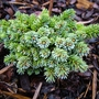 Picea_sitchensis_rayner_s_rescue_1