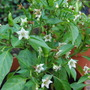 Chili peppers in flower (Capsicum frutescens (Chilli))