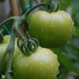 Greem_tomatoes_close