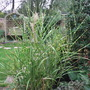 Zebra_grass