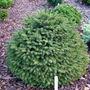 Picea_abies_hildburghausen