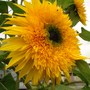 panache sunflowers (Helianthus annuus (Sunflower))