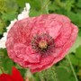another poppy (poppy)