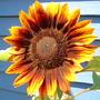 sunflower-ring of fire.