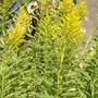 Solidago canadensis (Canadian Golden Rod)