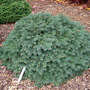 Picea_pungens_waldbrunn