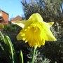 Narcissus 'Cedric Morris' 2 (Narcissus 'Cedric Morris')