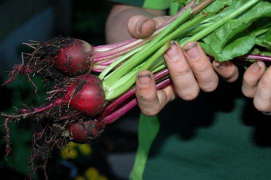 Beetroot Harvest (Beta vulgaris (Beetroot))