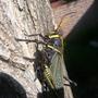 Fearsome_grasshopper