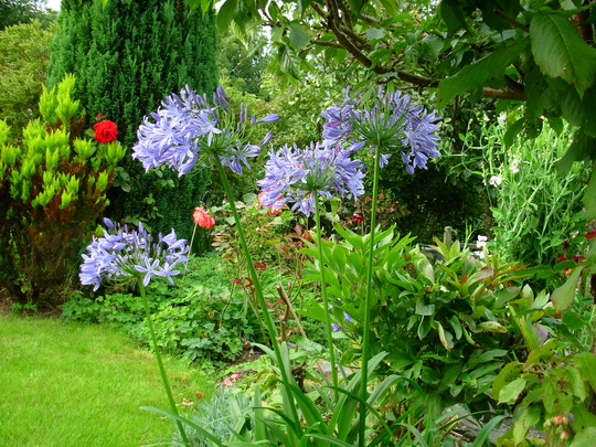 Agapanthus or African Lily