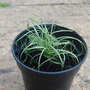 Carex comans 'Amazon mist' (Carex comans 'Amazon Mist')
