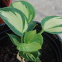 Hosta 'great expectations' (Hosta 'Great expectations')