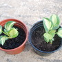 Two Hosta 'great expectations' (Hosta 'Great expectations')