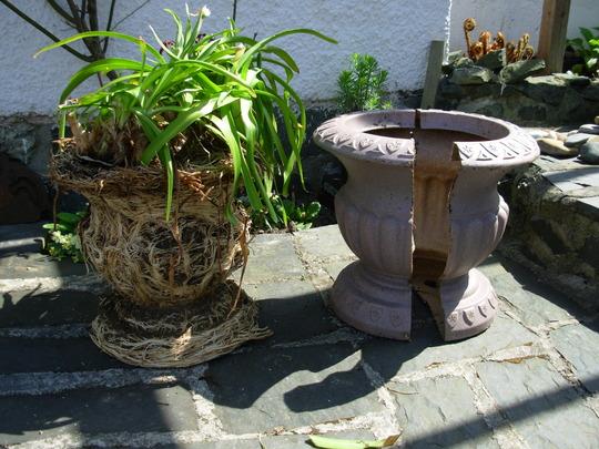 Pot-Bound Agapanthus