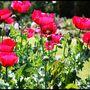 A Field of Poppy's