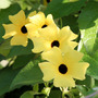 Black-eyed Susan (Thunbergia alata (Black-eyed Susan))