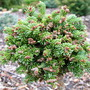 Abies_lasiocarpa_logan_pass