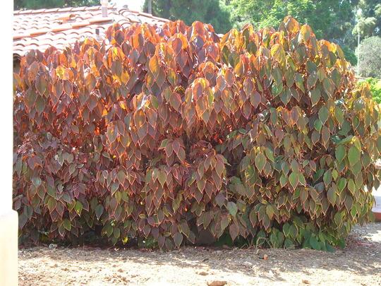 Acalypha wilkesiana - Copper Leaf (Acalypha wilkesiana)