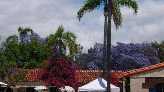 Jacaranda Trees/Queen Palms (Jacaranda Trees/Queen Palms)