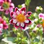 Dahlia_cultivar_wills_carousel