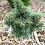 Picea_engelmannii_heike_kohout
