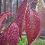 Dogwood (Cornus amomum (Silky Dogwood))