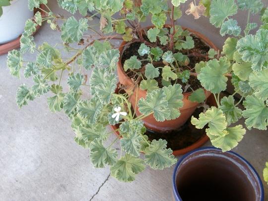 The scented leaved geranium flowers again! (Pelargonium odoratissimum)