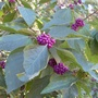 American beautyberry, Memorial Park