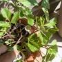 Strawberry flowers! (Fragaria vesca (Alpine Strawberry))