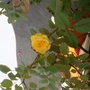 First yellow rose after Ike. (Rosa)
