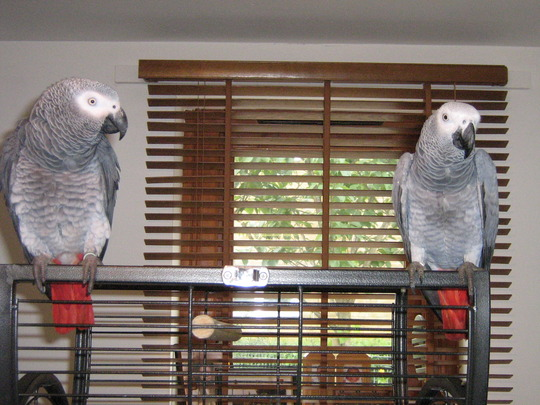 two parrot,s