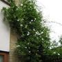 front garden jasmin
