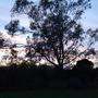 Eucalyptus_at_dusk