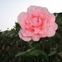 other pink rose