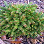 Picea orientalis 'Reynold's no.1' (common name; Oriental spruce)