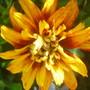 A garden flower photo (Coreopsis tripteris (Tall Coreopsis))