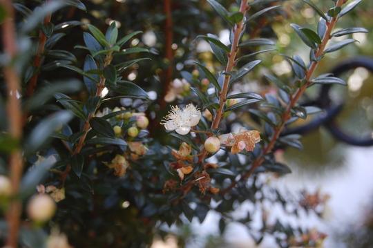 Myrtus communis subsp tarentina myrtus communis subsp tarentina