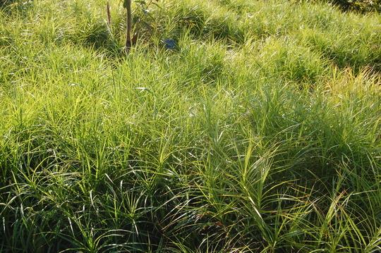 Carex muskingumensis (Carex muskingumensis)