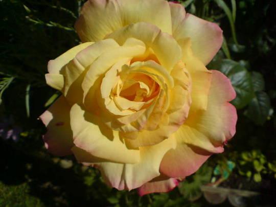 Mam's Rose