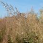 Calamagrostis brachytricha (Calamagrostis brachytricha)