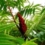 Red candles on my Rhus Sumach (Rhus typhina (Stag's horn sumach))