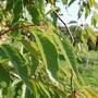 Prunus 'Shogetsu' (Prunus 'Shogetsu')