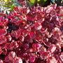 Iresine herbstii 'Brilliantissima' (Iresine herbstii 'Brilliantissima')