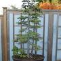 Larix kaempferi bonsai (Larix kaempferi)