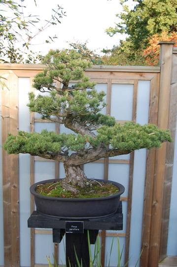 Pinus parviflora - bonsai (Pinus parviflora)