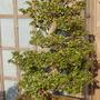 Rhododendron obtusum Group satsuki azalea - bonsai (Rhododendron obtusum Group satsuki azalea)